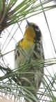 (Yellow-throated?) Warbler