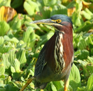 Green Heron two days later, in the morning sun!