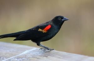 Red-winged Blackbird thinking about his next move . . .