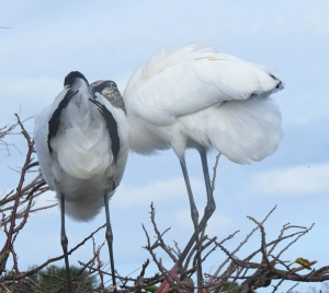 Wood Storks - from behind ;)