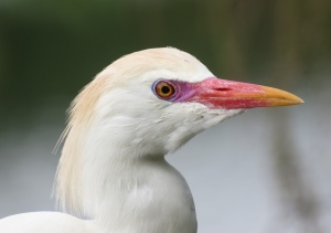 Cattle Egret looking fancy!