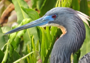 Tri-colored Heron with breeding plumage.