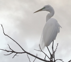Great Egret surveying the 'pondscape' just after arising to start the day.
