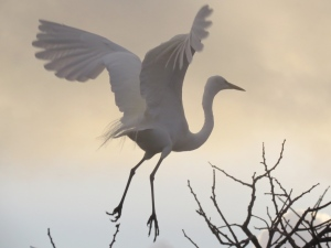 Great Egret taking off first thing in the morning.