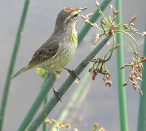 I think this is either a Pine Warbler or a Palm Warbler, but I'm not really sure ;-)