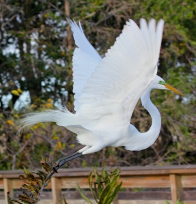 Great Egret flying off to find nesting materials.