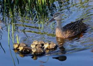 Mottled Duck watches over her new ducklings