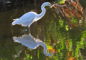 Great Egret heading out to pick up some breakfast.