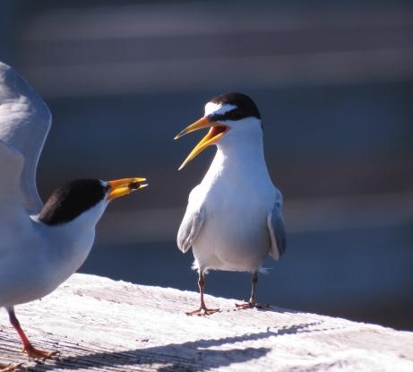 Least Tern:
