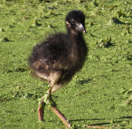 Baby Gallinule . . . new green legging look.