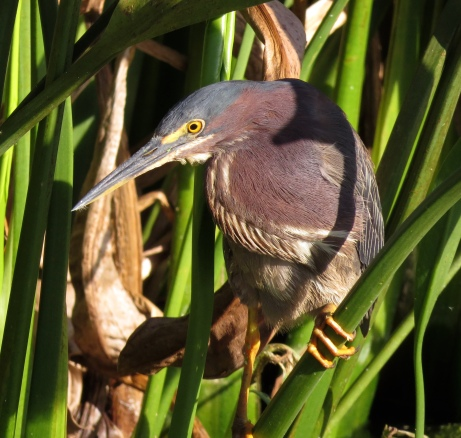 Debonair Dad Green Heron