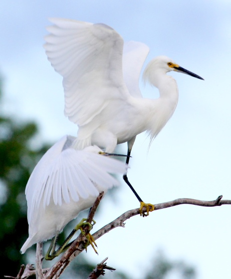 Snowy Egrets always look so graceful, don't they?
