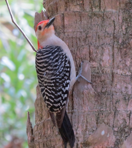 Adult Red-bellied Woodpecker saying Hello