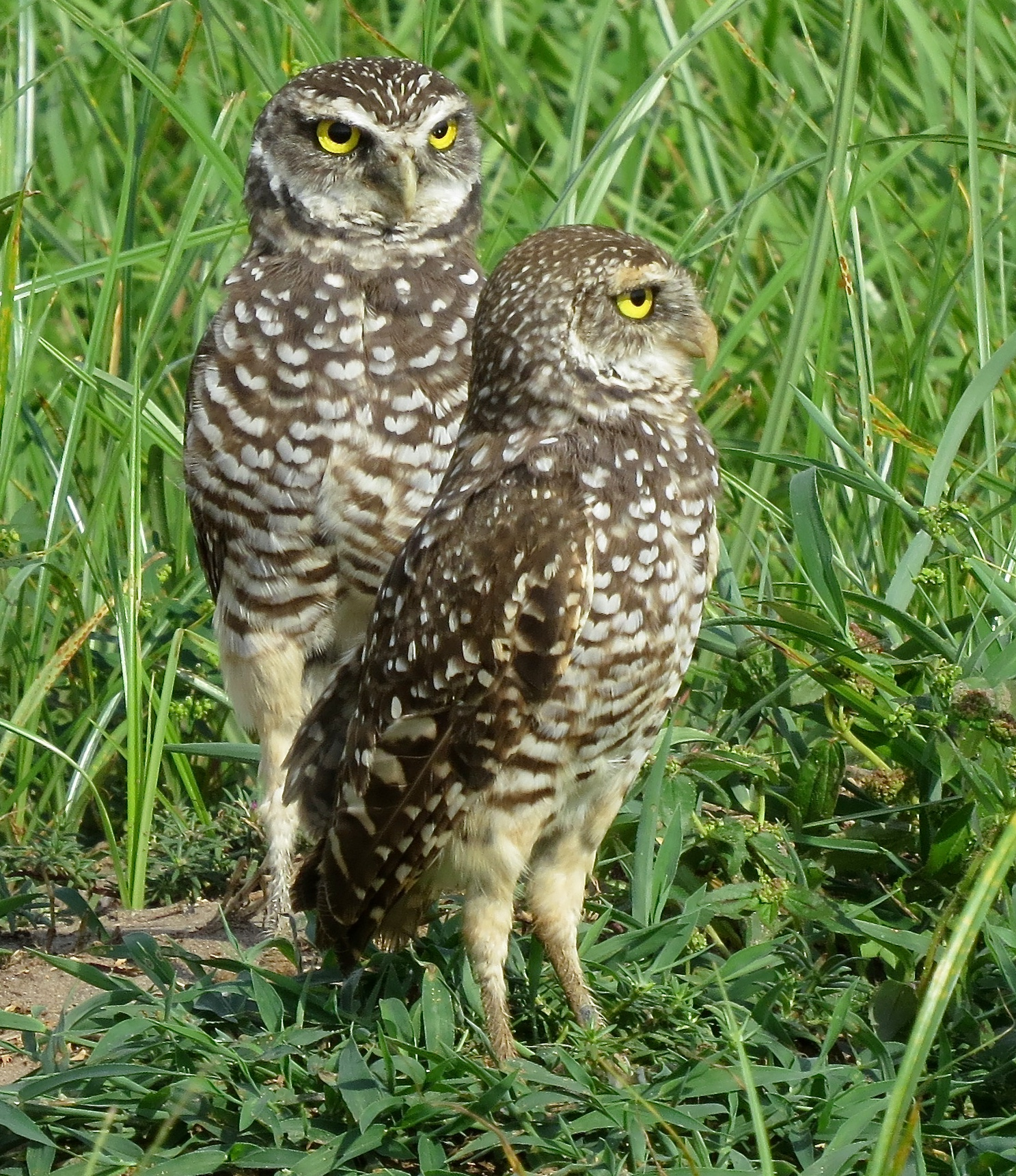 Burrowing owls in the neighborhood again birder 39 s journey for Do owls eat fish