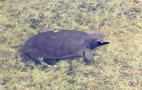 Young Soft-shell Turtle