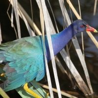 The Purple Gallinule who swam away