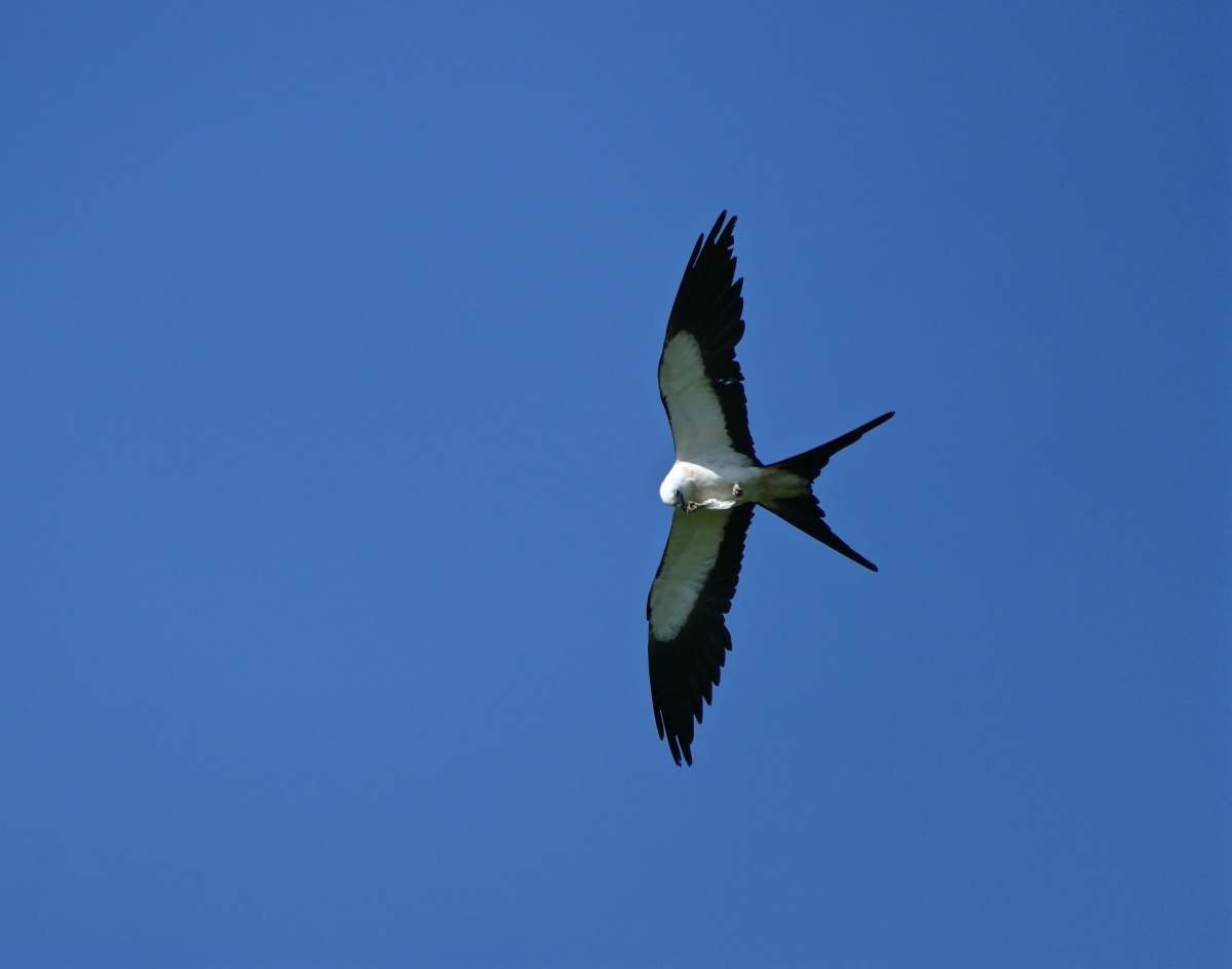 The marvelous Swallow-tailed Kite!