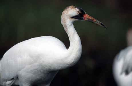 close-up-of-white-whooping-crane-bird-grus-americana
