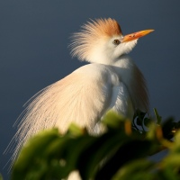 Cattle Egrets at their finest