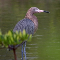 Tranquil morning with the Reddish Egret
