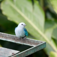 Blue Gray Tanager Snacktime