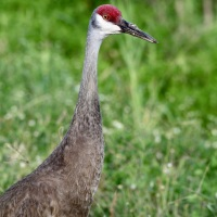 Close encounter with the Sandhill Cranes